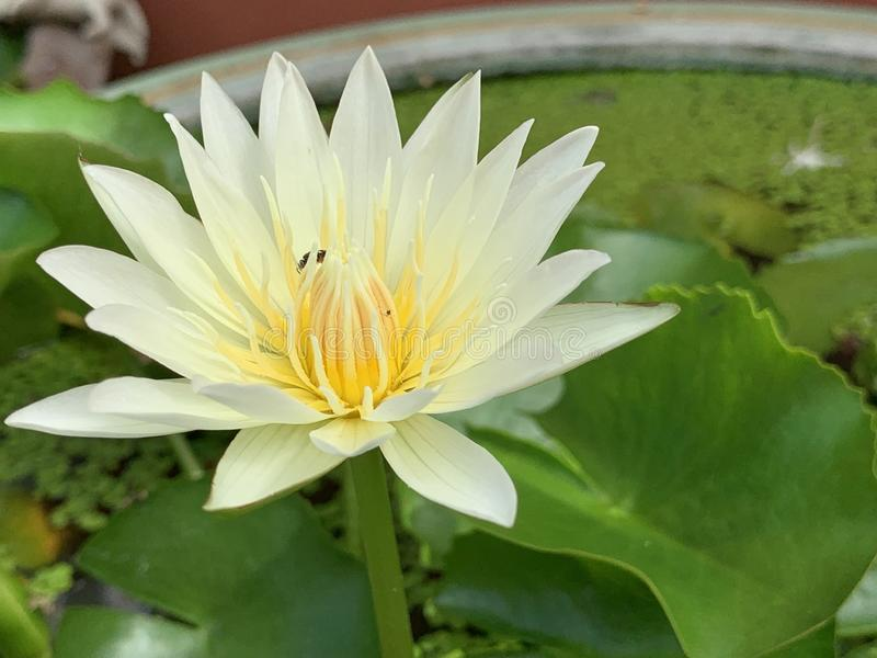 Lotus flowers bloom very beautiful & x28;a close-up image or macro& x29; stock photo