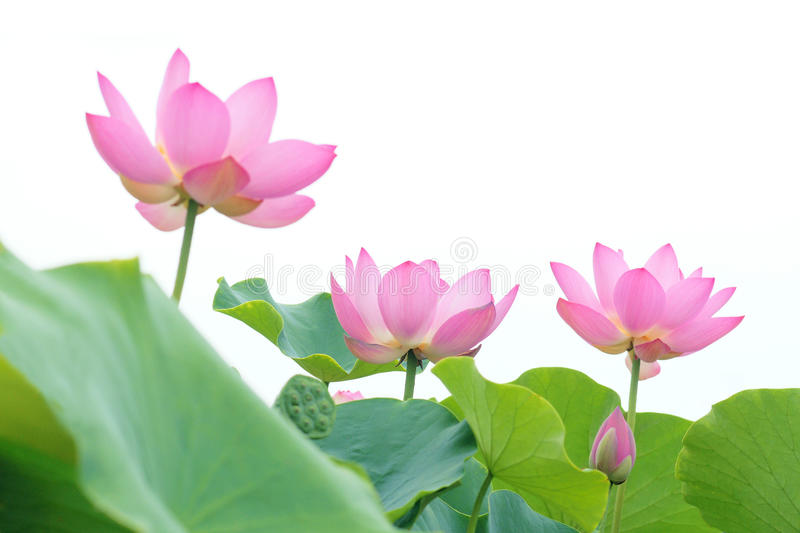 Lotus flowers royalty free stock photos
