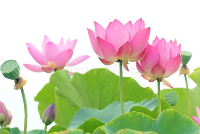 Lotus flowers. The lotus flowers are blooming stock photos