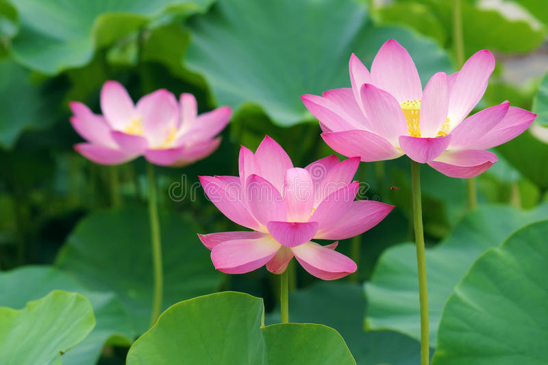 Lotus flowers. The close-up of three lotus flowers are blooming