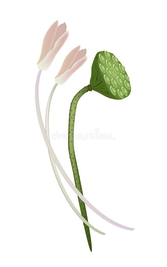 Lotus Flowers e baccello su fondo bianco illustrazione vettoriale