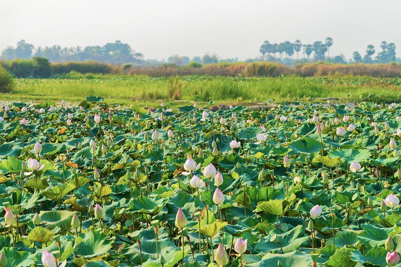 Lotus flowers field and farm in Siem Reap Cambodia. Lotus flowers field and farm in Siem Reap, in Cambodia stock image