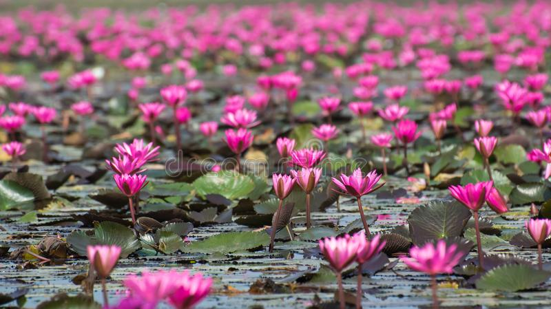 Lotus Flowers i en sjö royaltyfri bild