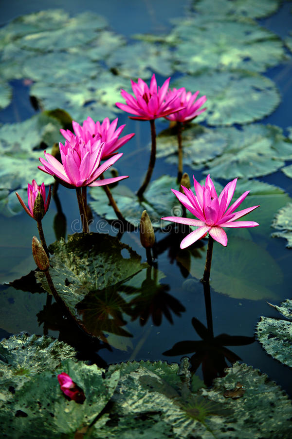 Lotus flowers and lily pads. Pink lotus flowers and lily pads on pond or lake royalty free stock photography