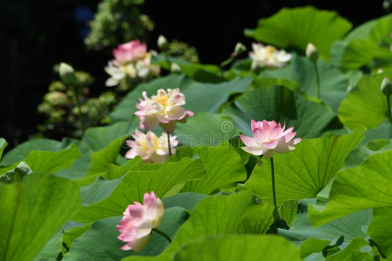 Lotus flowers stock photo