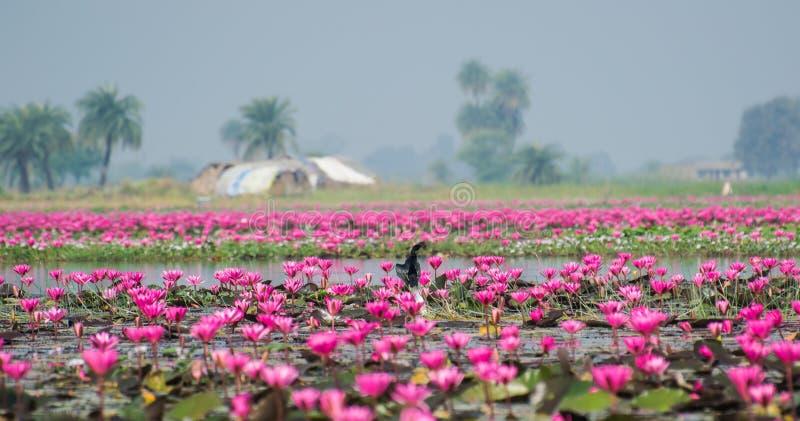Lotus Flowers och kormoran i en sjö royaltyfri bild