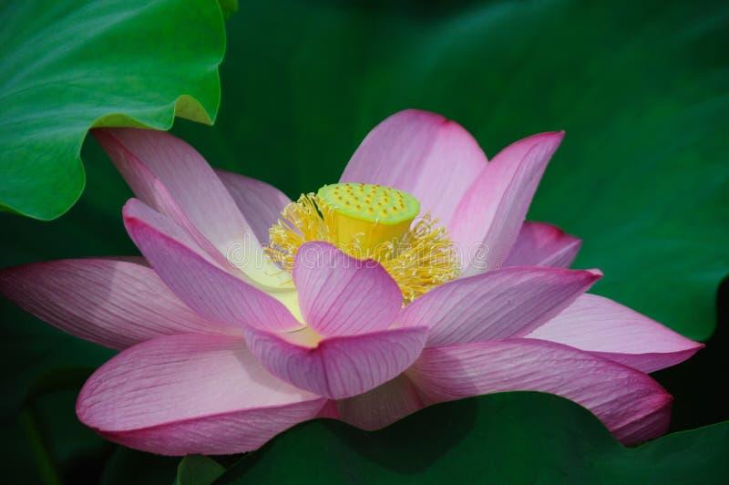 Lotus flowers. Pink lotus flowers with green leaves stock image