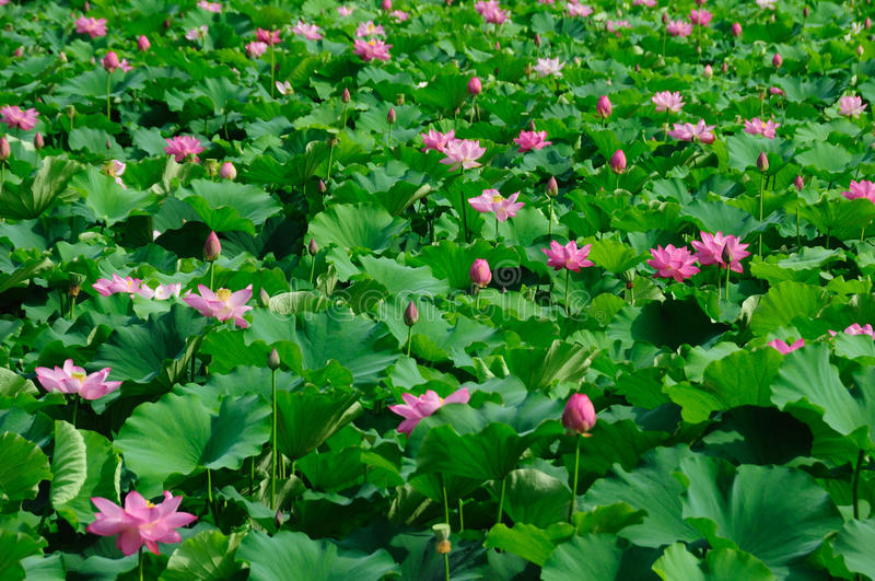 Lotus flowers. Pink lotus flowers with green leaves royalty free stock photo