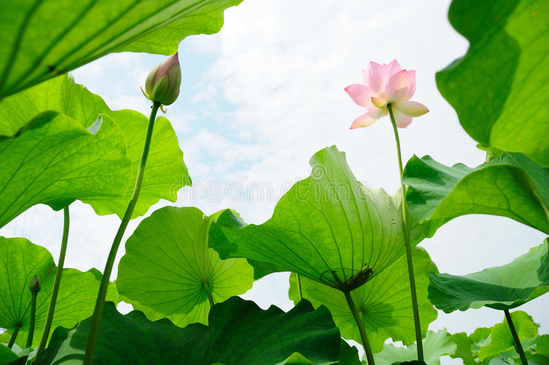 Lotus flowers. Pink lotus flowers with green leaves under sky royalty free stock image