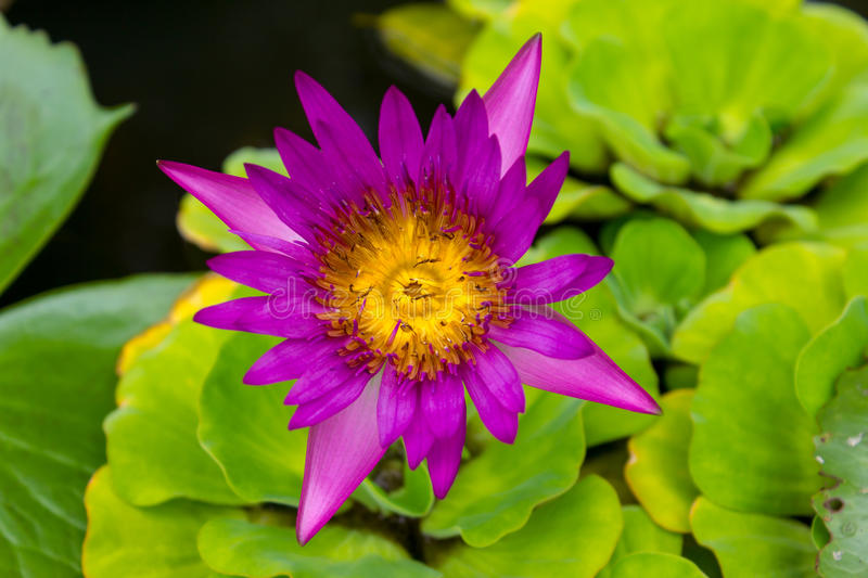 Lotus Flowers rosa in Lily Pond fotografie stock