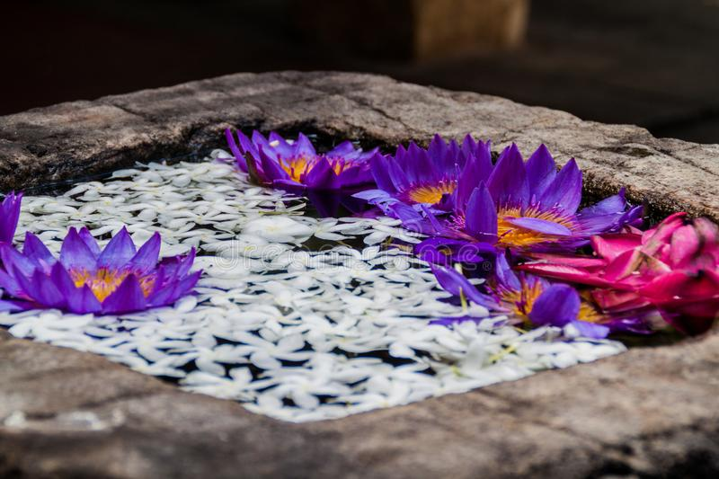 Lotus flowers in a small tank at the grounds of the Temple of Sacred Tooth Relic in Kandy, Sri Lank stock images
