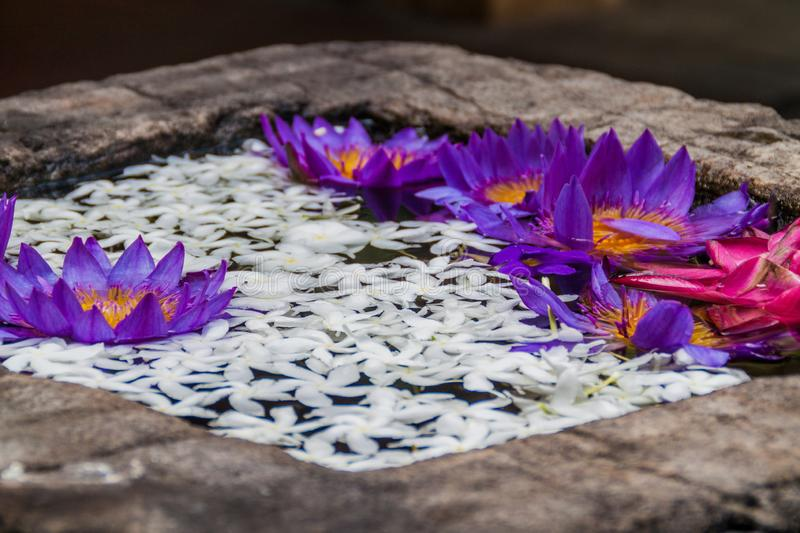 Lotus flowers in a small tank at the grounds of the Temple of Sacred Tooth Relic in Kandy, Sri Lank royalty free stock images