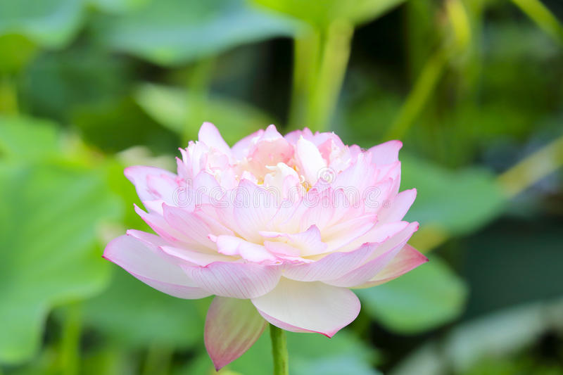Lotus flowers. The lotus flowers in summer stock photography