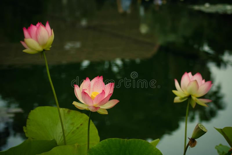 Lotus flowers symbolizing growth and new beginnings stock image delicate and beautiful bright pink lotus water lilies rising above green lily pads with tranquility and peace the lotus symbolizes growth new beginnings mightylinksfo