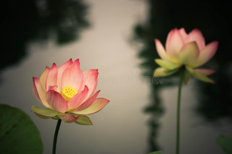 Lotus flowers, symbolizing growth and new beginnings. Delicate and beautiful bright pink lotus water lilies rising above green lily pads with tranquility and stock photography