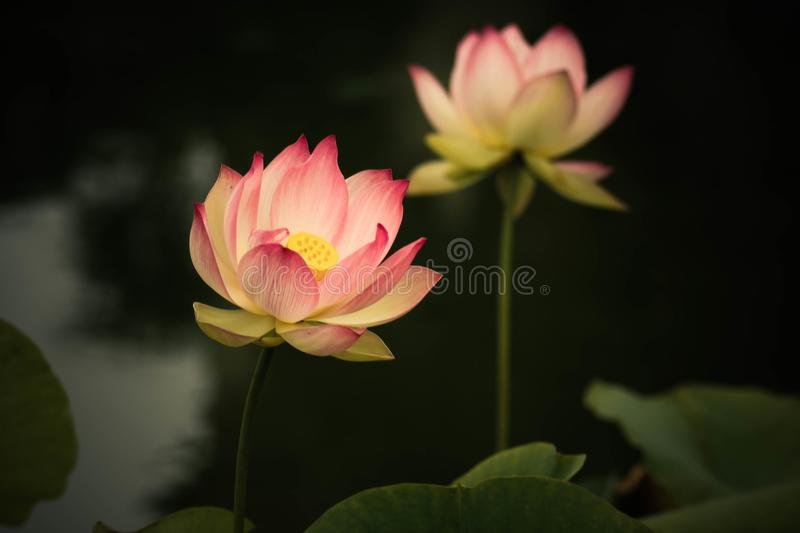 Lotus flowers, symbolizing growth and new beginnings. Delicate and beautiful bright pink lotus water lilies rising above green lily pads with tranquility and royalty free stock photography