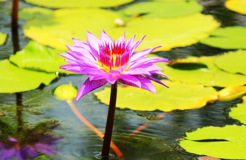 Lotus 03 stock photography