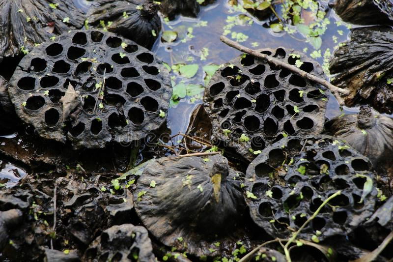 Lotus frö i vatten/Lotus Lake/, royaltyfria bilder