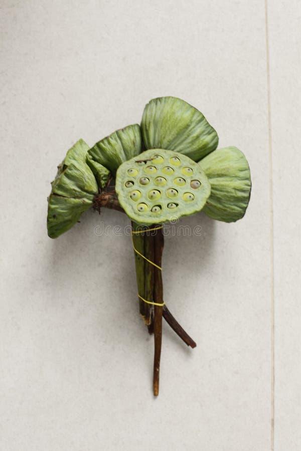Download Lotus frö på en manhand fotografering för bildbyråer. Bild av lotusblomma - 78728555