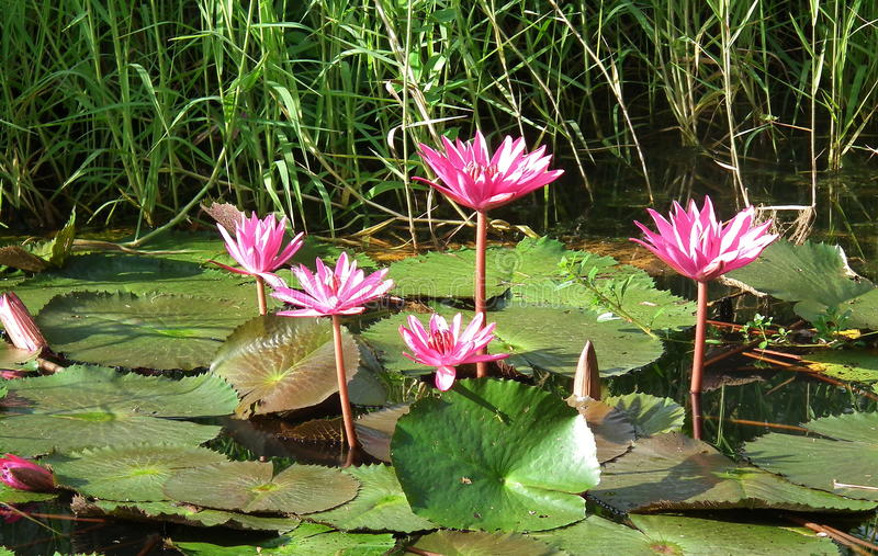 Lotus Freshy style in the morning.Thailand royalty free stock photo