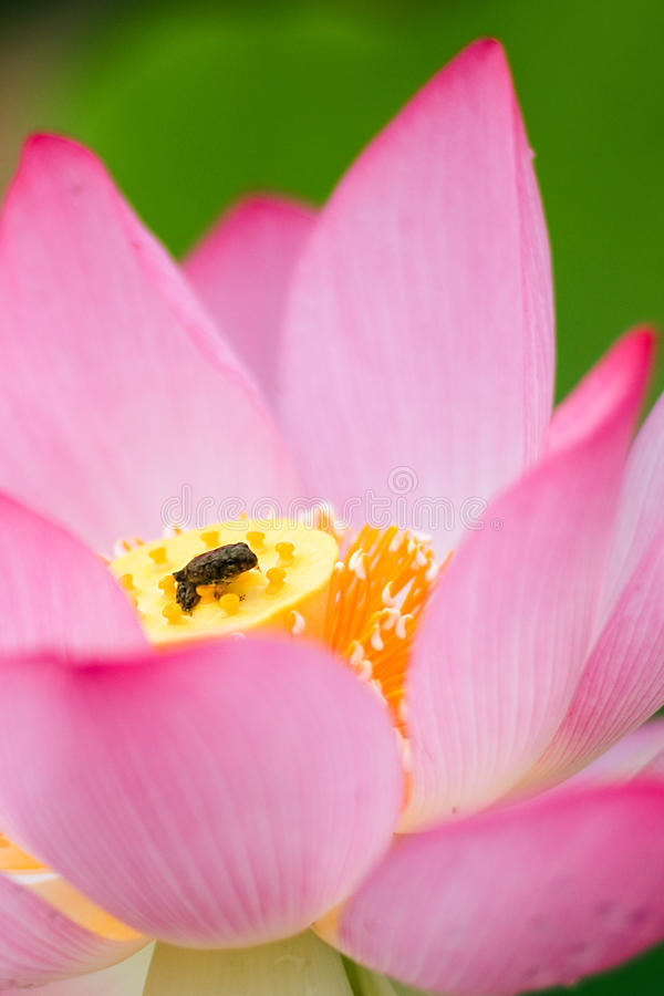 Lotus and frog royalty free stock images