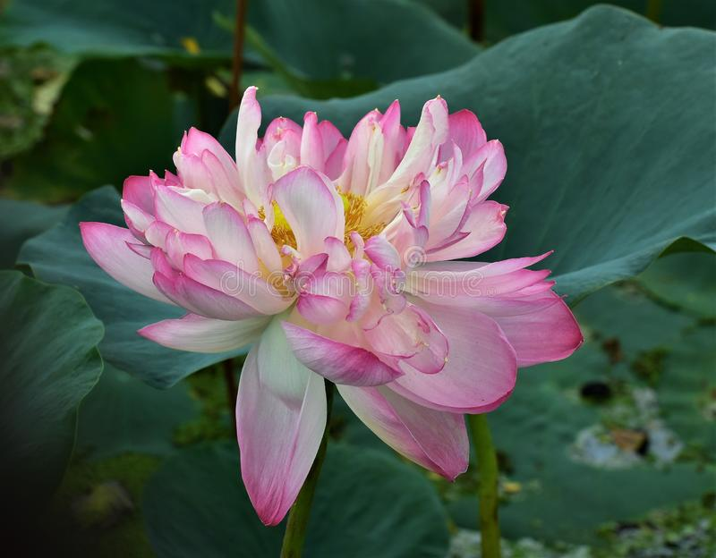 Lotus in full bloom. A lotus flower in full bloom amidst green in a lotus pond royalty free stock image