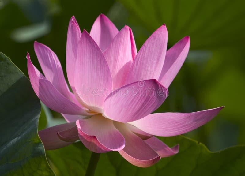 Lotus géant images libres de droits