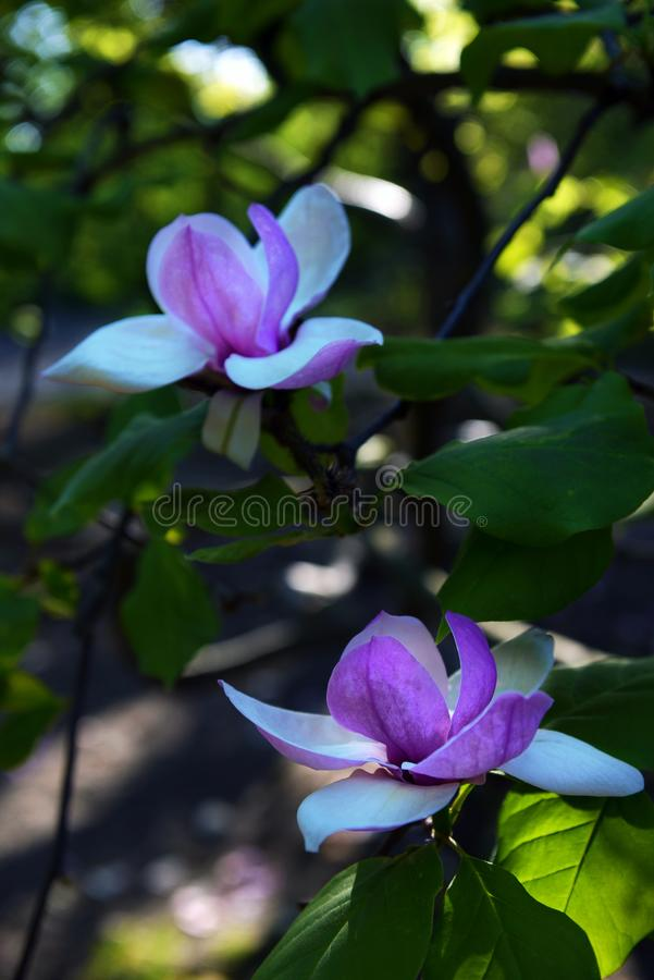Lotus-geblühte Magnolienblumennahaufnahme lizenzfreies stockbild