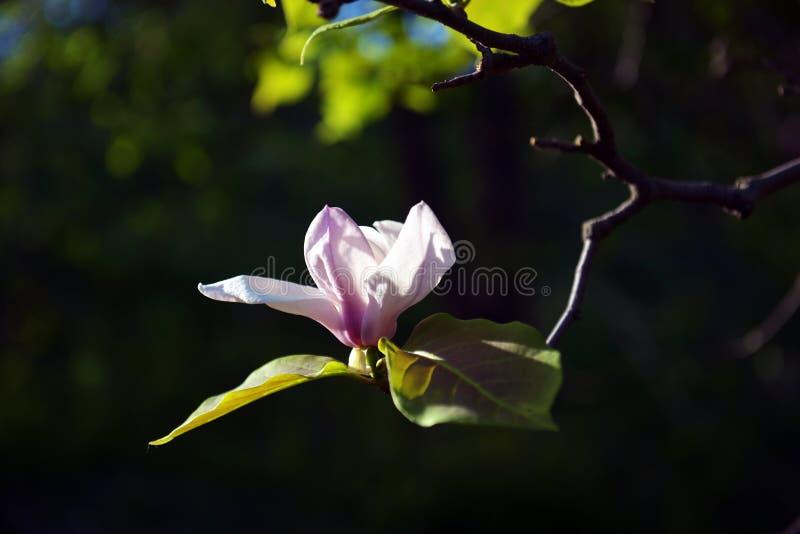 Lotus-geblühte Magnolienblumennahaufnahme, schönes Weiß mit Rosa stockbilder
