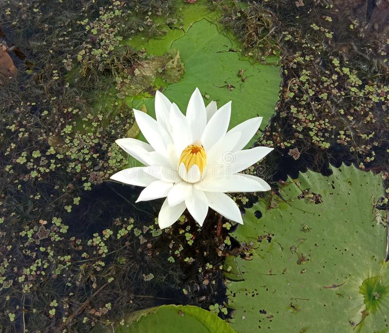 Lotus on green leaf and water surface is considered a symbol of virtue. Belief has existed since the modern era. . Lotus on green leaf and water surface is stock photo