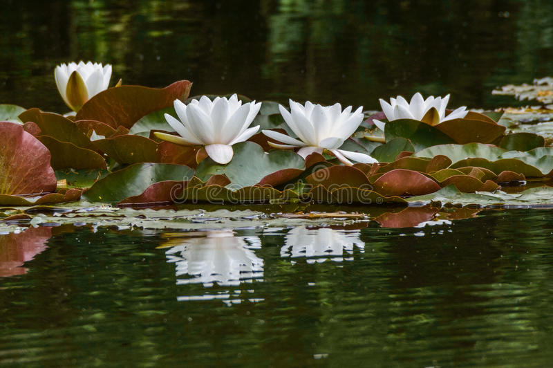 Lotus. A group of white lotus blooming in the pond royalty free stock images
