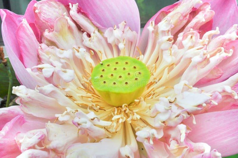 Lotus hårkam arkivfoto