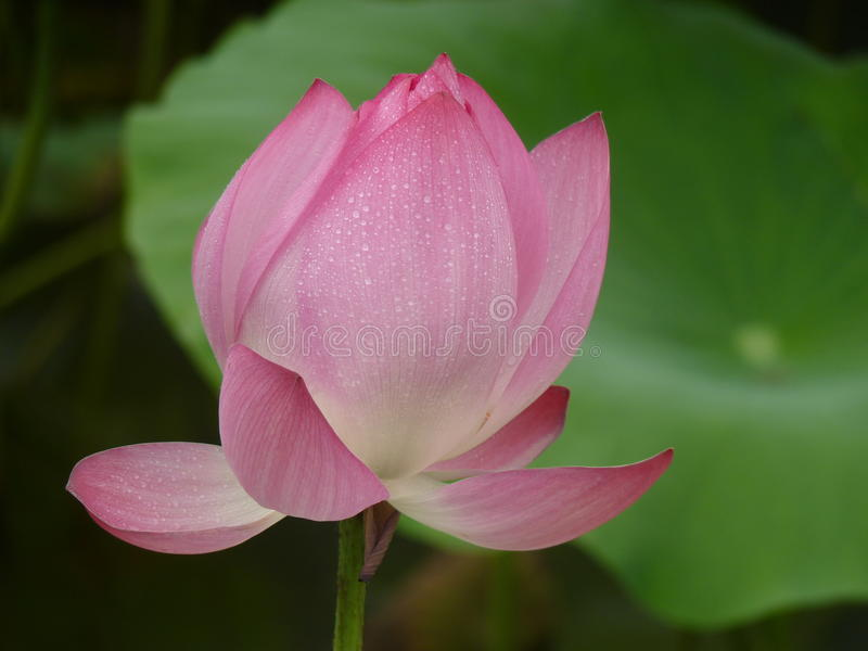 Lotus is heilig en elegant stock afbeelding
