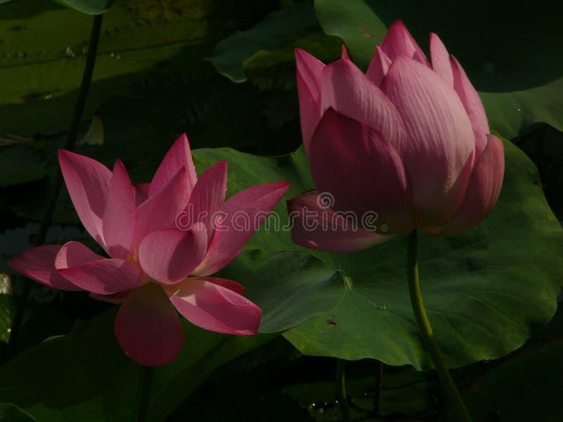 Lotus is heilig en elegant stock fotografie