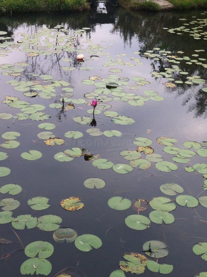 Lotus-het onkruidgras van het watermeer stock foto's