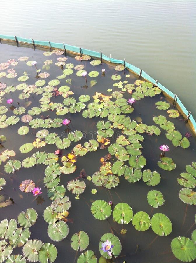 Lotus-het onkruidgras van het watermeer stock foto