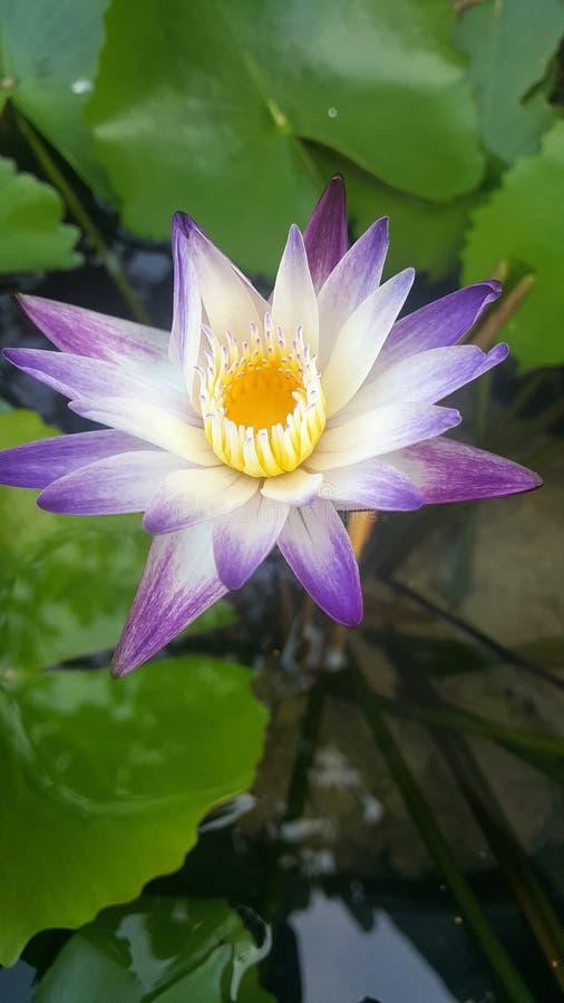 Lotus in het water stock afbeeldingen