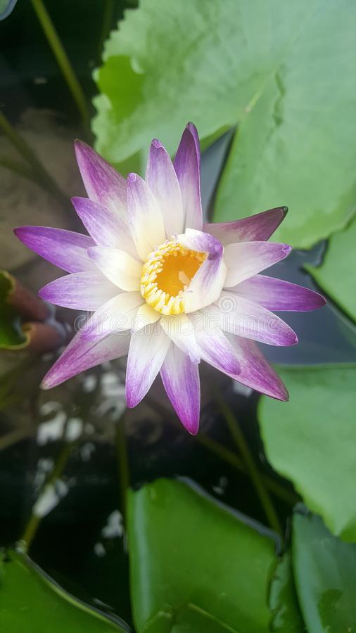 Lotus in het water royalty-vrije stock fotografie