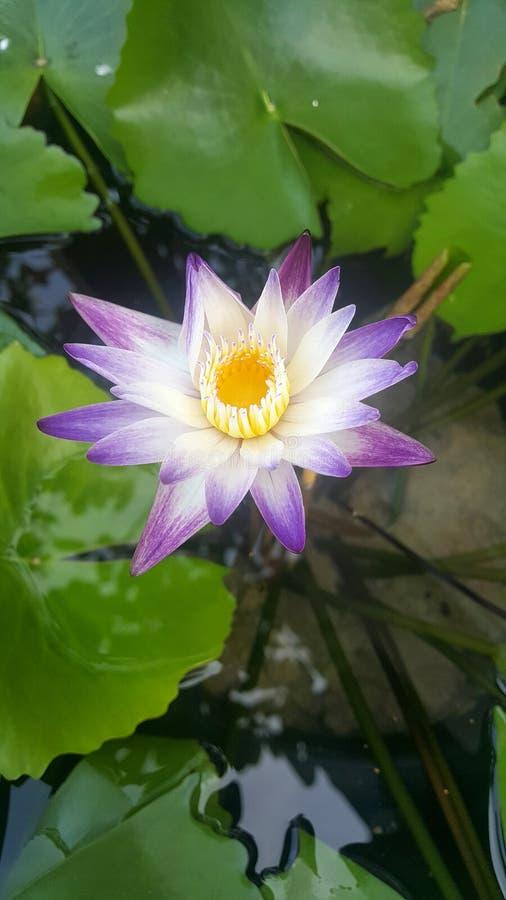 Lotus in het water royalty-vrije stock afbeeldingen