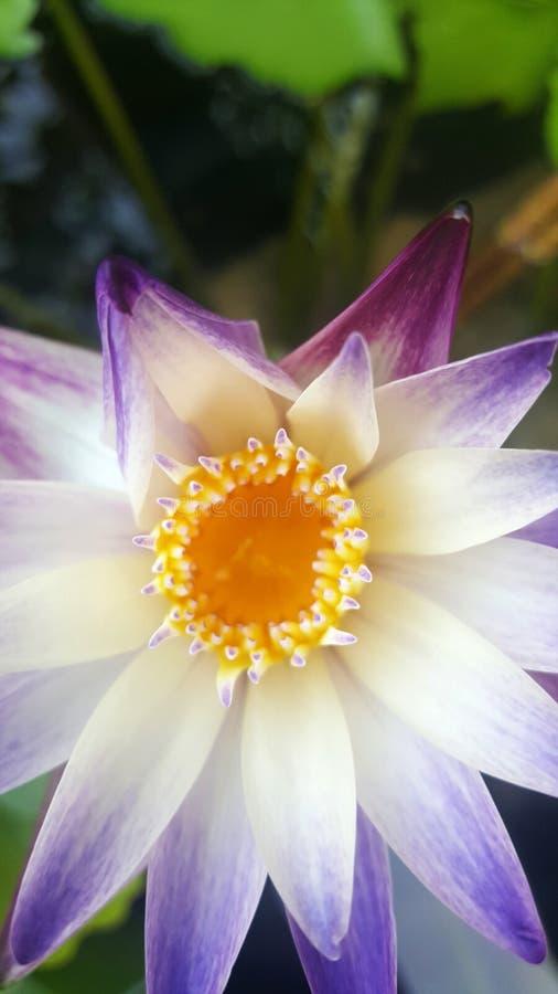 Lotus in het water royalty-vrije stock foto's
