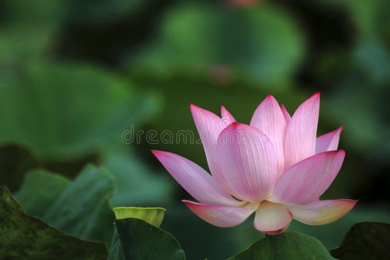 Lotus in het wazige hoofd als achtergrond stock afbeelding