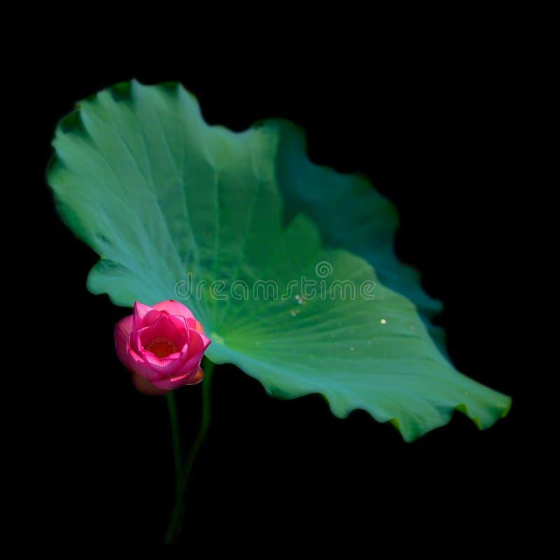 Lotus, hoja verde, amor imágenes de archivo libres de regalías