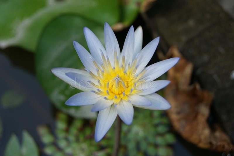 Flower of lotus royalty free stock images