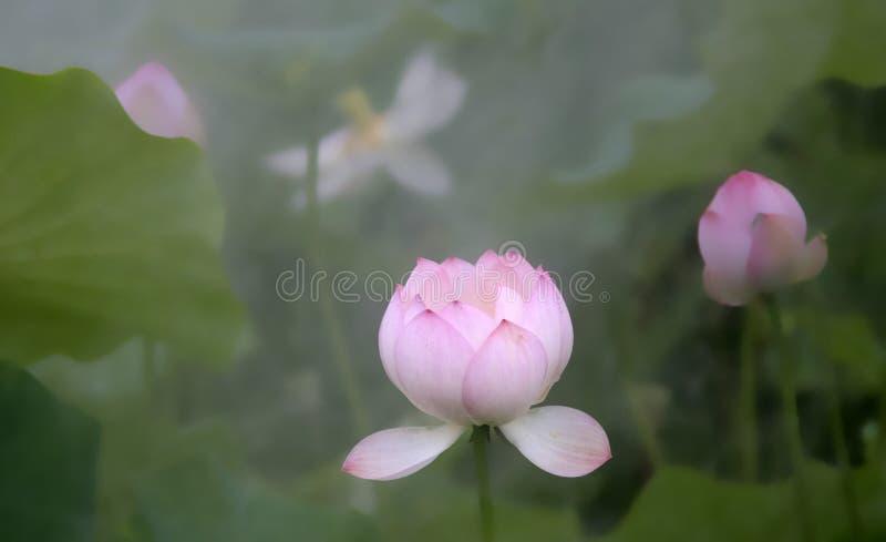 Lotus i morgonmist royaltyfria bilder