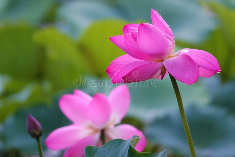 Lotus i regn royaltyfri foto
