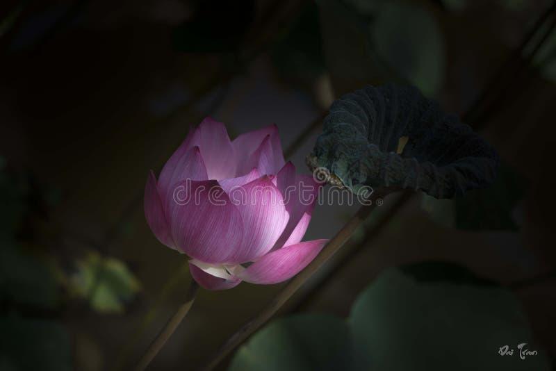 Lotus i soligt royaltyfria bilder