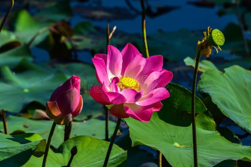 Lotus i träsket fotografering för bildbyråer