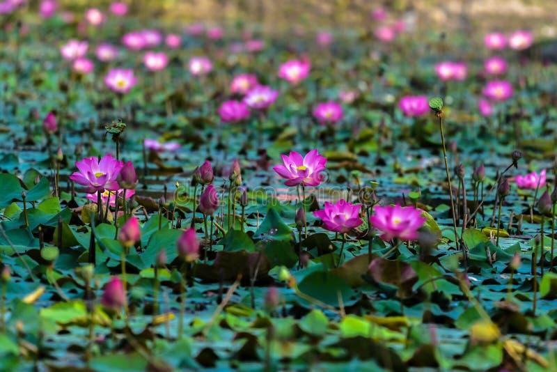 Lotus i träsket royaltyfri foto