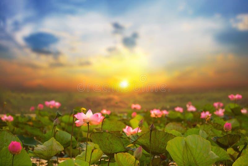 Lotus i tr?sken att soluppg?ng p? Bueng Lahan, Chaiyaphum landskap av Thailand royaltyfria foton