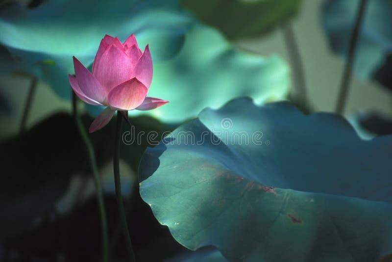 Lotus illuminé par lumière du soleil image stock